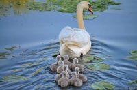 Swam Family